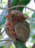 Palm-sized primate - the tarsier