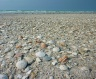Easy shell collecting - - Eighty Mile Beach